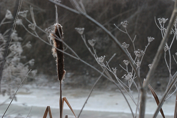 Cattail on an Icy Morning