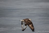 Rough-Legged Hawk-7464