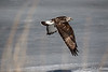 Rough-Legged Hawk-7454