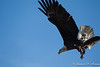 Bald Eagle w Duck-7748