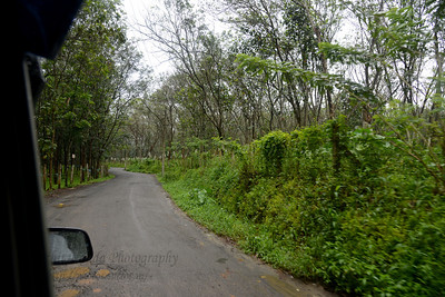 Rubber plantations and trees from which rubber sap is collected seen enroute from Thekkady to Kochi in Kerala. Thekkady (Idukki district) in Kerala is the location of the Periyar National Park, which is an important tourist attraction in India. Thekkady sanctuary is located near the Kerala-Tamil Nadu state border and is famous for its dense evergreen, semi-evergreen, moist deciduous forests and savanna grass lands. It is home to herds of elephants, sambar, tigers, gaur, lion-tailed Macaques and Nilgiri Langurs.