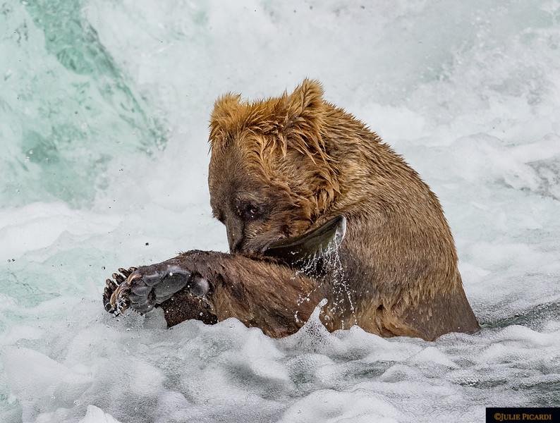 This sub-adult bear, probably between 3 and 5 years old, is out on his own for his first fishing season and is having a difficult time learning the ropes.