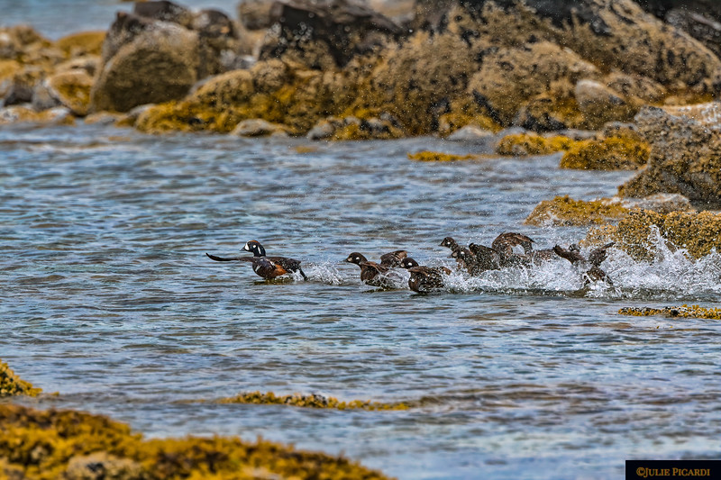 Harlequin Ducks attempting to take flight.