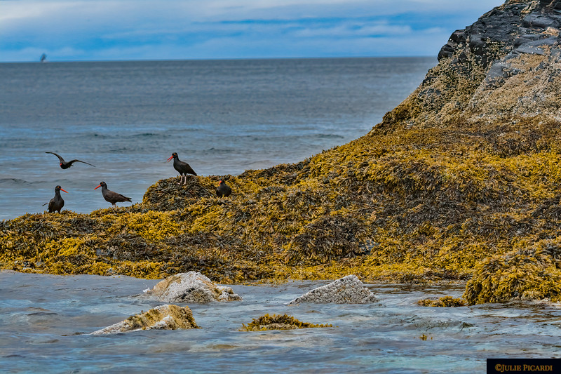 Oyster catchers at work on a rugged outcropping of rock.