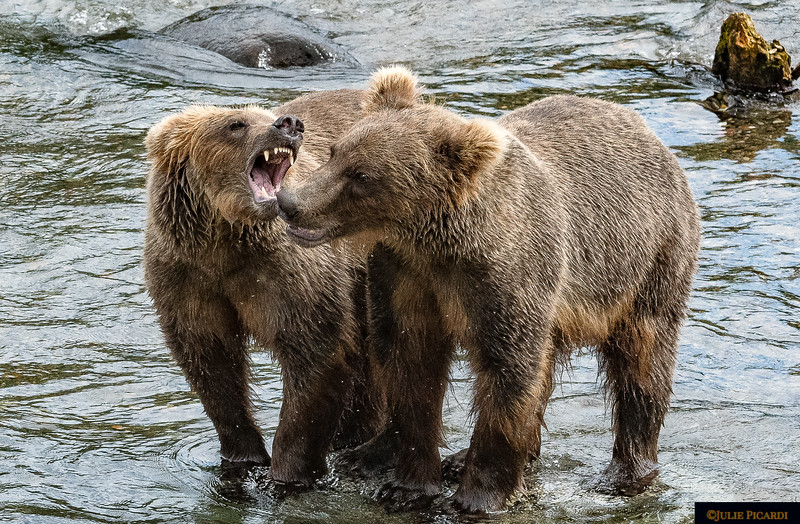 Two cubs play while mom fishes for them.