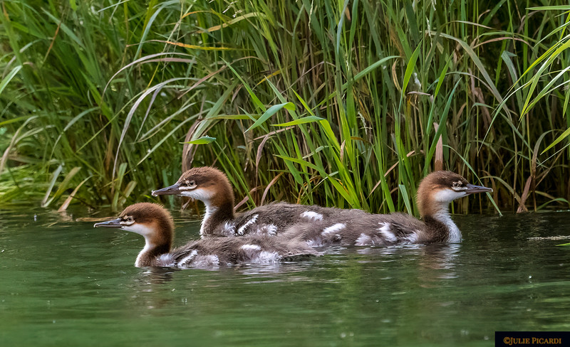 Baby Mergansers with a difference of opinion.