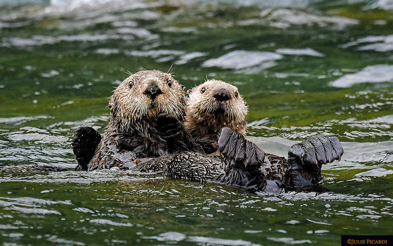 Mama Otter and pup.