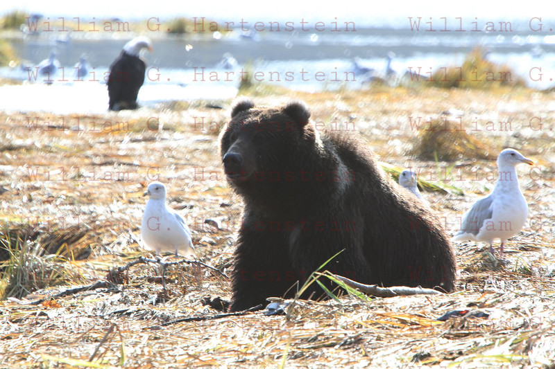 Kodiak Bear catches Salmon with a Bald Eagle watching in Kodiak, AK. Sept. 28, 2011