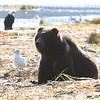 Kodiak Bear catches Salmon with a Bald Eagle watching in Kodiak, AK. Sept. 28, 2011