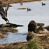 Kodiak Bear scares a Bald Eagle off a rock in Kodiak, AK. Sept. 28, 2011