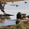 Kodiak Bear scares a Bald Eagle off a rock in Kodiak, AK. Sept. 28, 2011