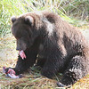Kodiak Bear catches Salmon in Kodiak, AK. Sept. 28, 2011