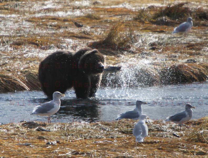 Kodiak Bear catches Salmon in Kodiak, AK. Sept. 28, 2011