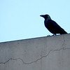 Crow on wall_1007