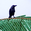Crow on branch_1009