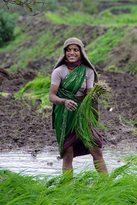 Women planting in the fields the rice crop in during onsoon at Kolwan, Maharashtra (MH), India