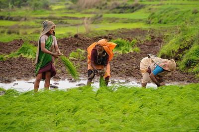 Lush green fields during monsoon. Villagers planting rice in their rice paddy fields in Kolwan, Maharashtra (MH), India