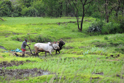 Men plowing the fields during onsoon at Kolwan, Maharashtra (MH), India