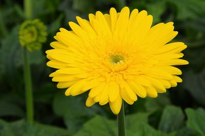 Flowers grown in a green house at Kolwan, Maharashtra (MH), India