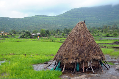 Fields all green in the monsoon at Kolwan, Maharashtra (MH), India