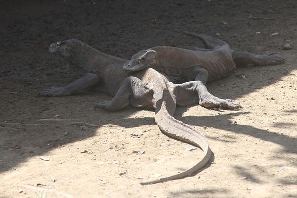 Komodo August 2013