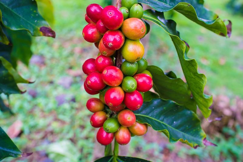 "Coffee ""berries"" - Hula Daddy Coffee Farm"