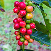 "Coffee ""berries"" - Hula Daddy Coffee Farm"