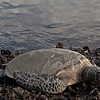Honu (Sea Turtle)