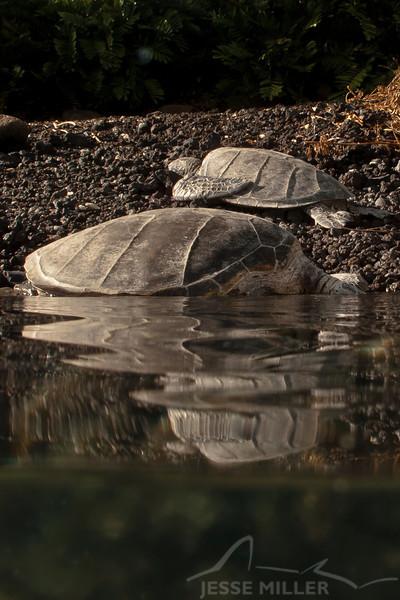 Honu (Sea Turtle)