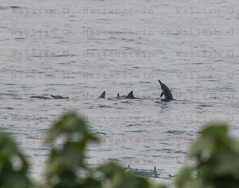Dolphins off White Sands Beach Kona, HI 11-26-17