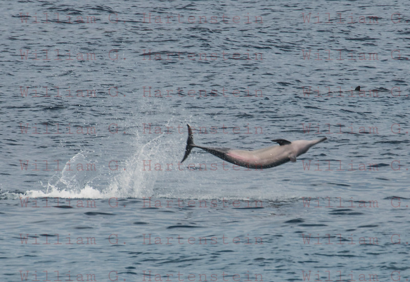 Dolphins off White Sands Beach Kona, HI. 11-26-17