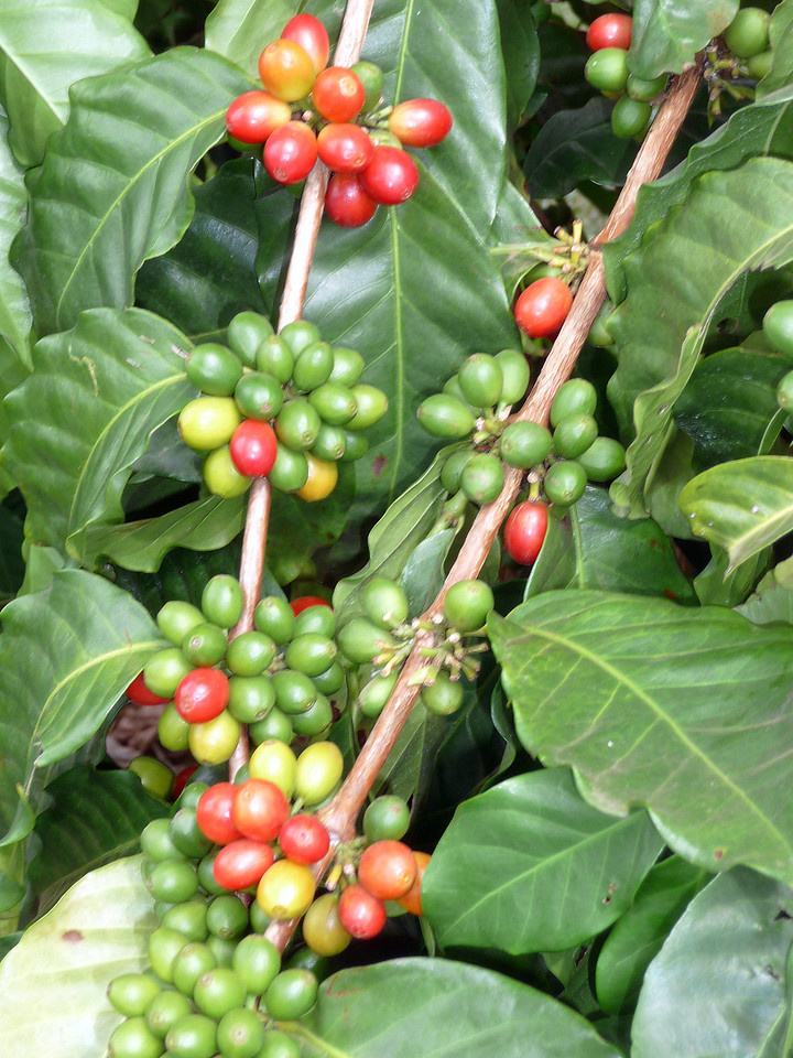 Kona coffee cherries (long before they become beans)