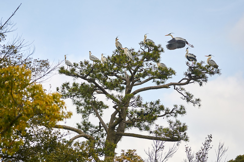 Grey herons at Nijo Castle, Kyoto, Japan