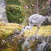 Grey heron in Kyomizu-dera, Kyoto, Japan