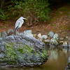 Grey heron in Maruyama Park, Kyoto, Japan