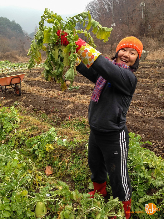 Harvesting a full-grown radish from the field