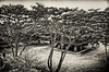 2013-11-10_Changdeuk-gung_Backlit_PineTrees_6473_HDR-mono