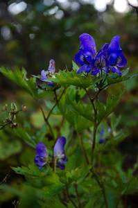 Aconitum ambiguum - one of many Seoraksan's wild flowers