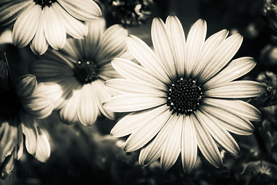 A black and white image of a flower