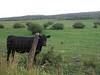 Cow friend