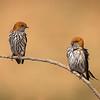 Little Swallows