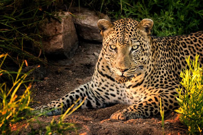 Shimuwini Leopard