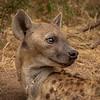 Hyena Alert