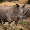 Rueful Rhino