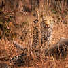 The Curious Leopard Cub