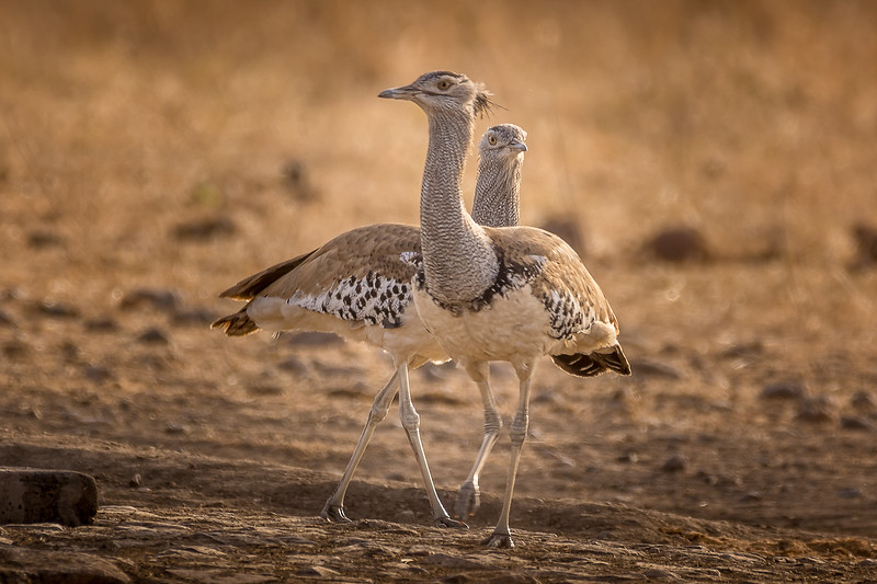 A Pair of Bustards