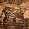 Mama Leopard