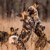 Painted Dogs at Play