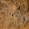 Jackal in the Grass