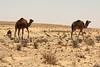 More camels.